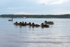 Duck with ducklings swimming in a pond. In summer stock photography