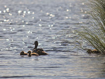 Duck with ducklings. Swimming in the water stock image