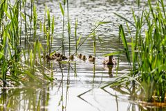 Duck with ducklings swimming on the water body. Close-up Stock Photo