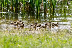 Duck with ducklings swimming on the water body. Close-up Royalty Free Stock Image