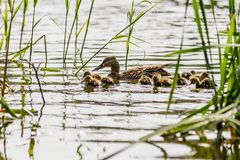 Duck with ducklings swimming on the water body. Close-up Stock Images