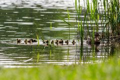 Duck with ducklings swimming on the water body. Close-up Stock Photos