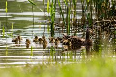 Duck with ducklings swimming on the water body. Close-up Royalty Free Stock Photography