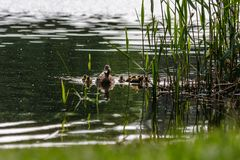Duck with ducklings swimming on the water body. Close-up Royalty Free Stock Photo