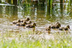 Duck with ducklings swimming on the water body. Close-up Stock Image