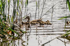 Duck with ducklings swimming on the water body. Close-up Stock Photography