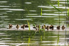 Duck with ducklings swimming on the water body. Close-up Royalty Free Stock Images