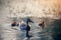 Duck with ducklings swims in the evening in the lake. The duck with ducklings swims in the evening in the lake stock images