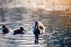 Duck with ducklings swims in the evening in the pond. The duck with ducklings swims in the evening in the pond royalty free stock photography
