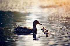 Duck with ducklings swims in the lake in sunset beams of the sun. Stock Photo