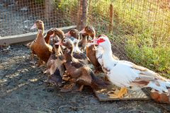 Duck with ducklings on a traditional poultry farm. stock photography