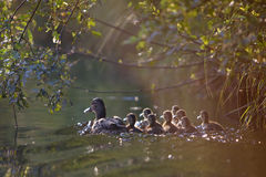 Duck and ducklings under leaves. Royalty Free Stock Image