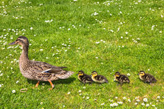 Duck with ducklings.walk in city bird Royalty Free Stock Photo
