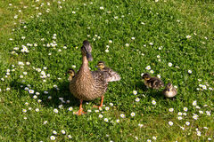 Duck with ducklings.walk in city bird safety Royalty Free Stock Photography