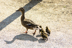 Duck with ducklings.walk in city bird safety downtown Stock Photo