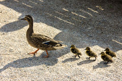 Duck with ducklings.walk in city birds care of children Royalty Free Stock Photography