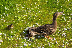 Duck with ducklings.walk in city birds care of children Stock Image