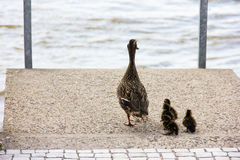 Duck with ducklings walk in city birds care of children Stock Photography