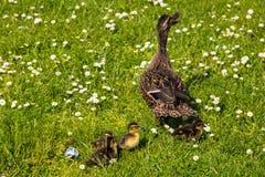 Duck with ducklings.walk in city birds care of children Stock Photo