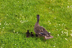 Duck with ducklings.walk in city birds care of children. Duck with ducklings.walk in city security birds Stock Photos