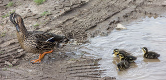 Duck with ducklings.walk in city care of children Stock Images