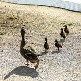 Duck with ducklings.walk in city care of children Stock Image