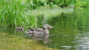 Duck with ducklings on walk floating in the pond water. Harmony of beautiful nature. Duck with ducklings on walk floating in the pond water. Harmony of nature stock images