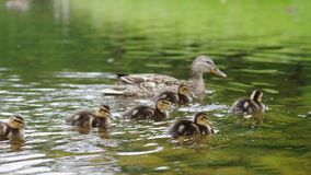 Duck with ducklings on walk floating in the pond water. Harmony of beautiful nature. Duck with ducklings on walk floating in the pond water. Harmony of nature royalty free stock image