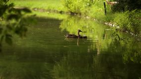 Duck with ducklings on walk floating in the pond water. Harmony of nature stock video
