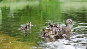 Duck with ducklings on walk floating in the pond water. Harmony of beautiful nature. Duck with ducklings on walk floating in the pond water. Harmony of nature stock photo
