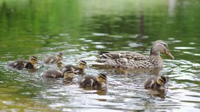 Duck with ducklings on walk floating in the pond water. Harmony of beautiful nature. Duck with ducklings on walk floating in the pond water. Harmony of nature royalty free stock photo