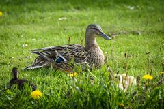 Duck with ducklings at water edge Stock Images
