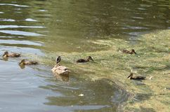 Duck with ducklings. On the water of lake royalty free stock image
