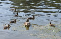Duck with ducklings. On the water of lake royalty free stock photography