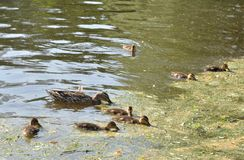Duck with ducklings. On the water of lake stock photography