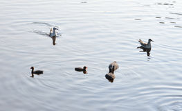 Duck with ducklings. Duck with ducklings on the water of lake stock images