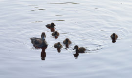 Duck with ducklings. Duck with ducklings on the water of lake stock photography