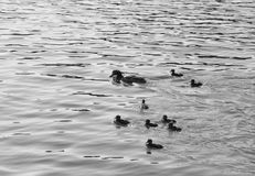 Duck with ducklings. On the water of lake. Black and white stock photo