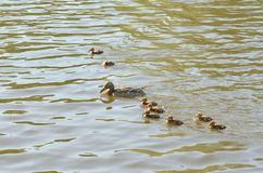 Duck with ducklings. On the water of lake stock images