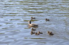 Duck with ducklings. On the water of lake stock photo