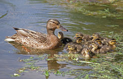 Duck with ducklings in the water Stock Photography