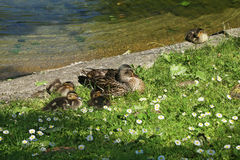 Duck with ducklings. Wild duck with ducklings on the bank of the pond royalty free stock image
