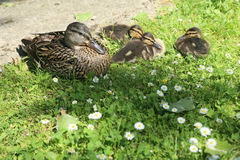 Duck with ducklings. Wild duck with ducklings on the bank of the pond Stock Image