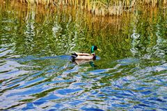 Duck. Ducks  Animals  water  утята  утки  пруд  животные  птицы  wild nature  life  birds  lake Stock Photos
