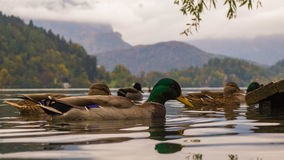 Duck. S on Bled Lake, Slovenia Royalty Free Stock Photography
