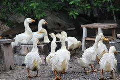 Duck. S roam the village courtyard Royalty Free Stock Images