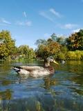 Duck Ducks Stock Image