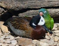 Duck Earring Fotografie Stock