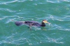 Duck eat bread and swim. stock photo