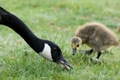 Duck Eating as Duckling Watches. A duck eats a piece of food as her duckling watches longingly Royalty Free Stock Images